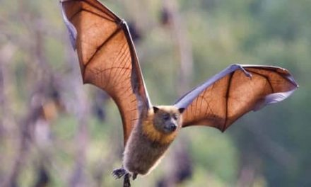 Sucking The Life Out Of Bats (Are Wind Turbines To Blame?)