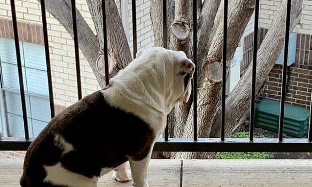 7 Reasons an English Bulldog Cannot Live Outside