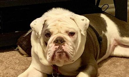 Why Bulldogs Need C-Sections: the Complete Guide