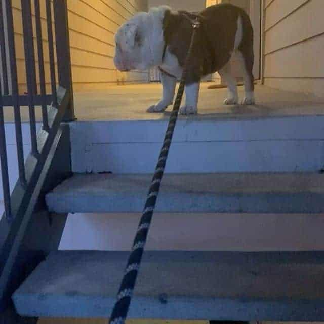 Can English Bulldogs Go Up and Down the Stairs?