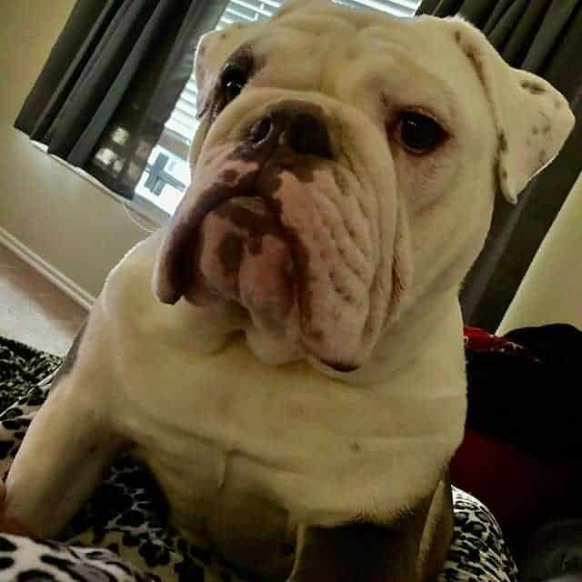 Bulldogs 101: How Many Types Are There?