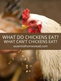 What Do Chickens Eat?  What Can't Chickens Eat?
