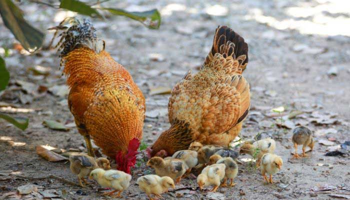 are chickens expensive to feed and raise