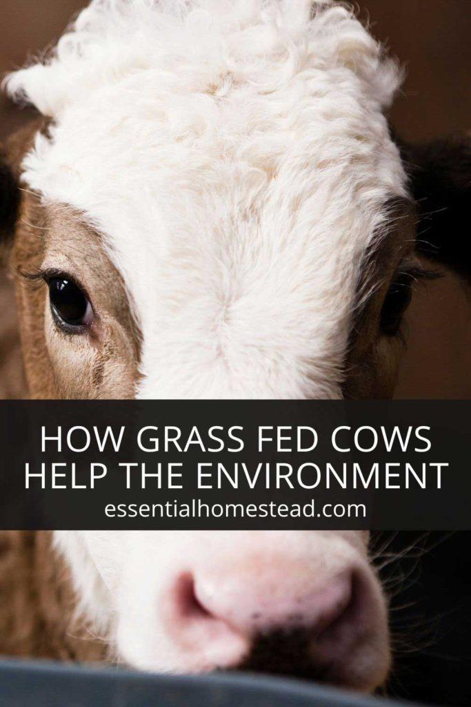 grass fed cows environment