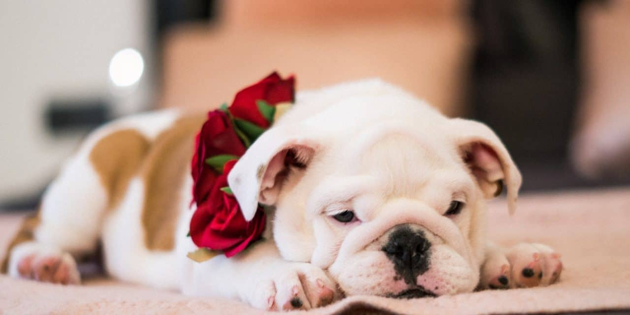 Here is Why Your English Bulldog is Limping