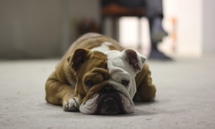 The Bulldog Temperament: Are They All Lazy?