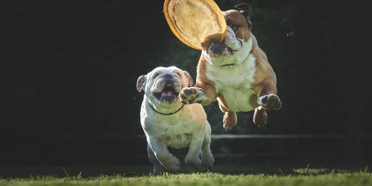 Reviewed: 10 Best Foods for English Bulldogs with Allergies