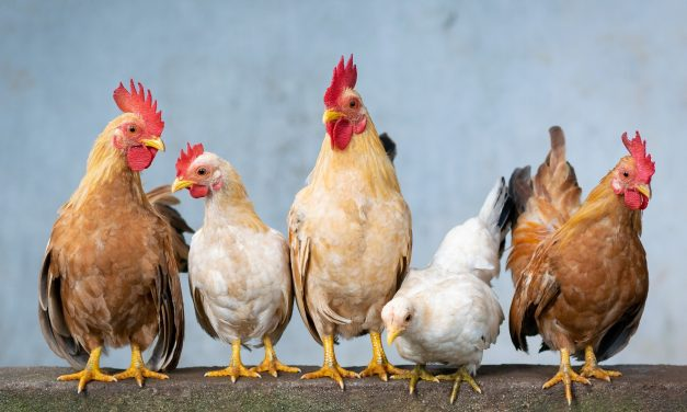 Are Chickens Expensive to Feed and Raise:  A Complete Cost Analysis