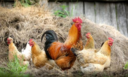 How Much Work Is It to Raise Chickens? Are They Worth Keeping?