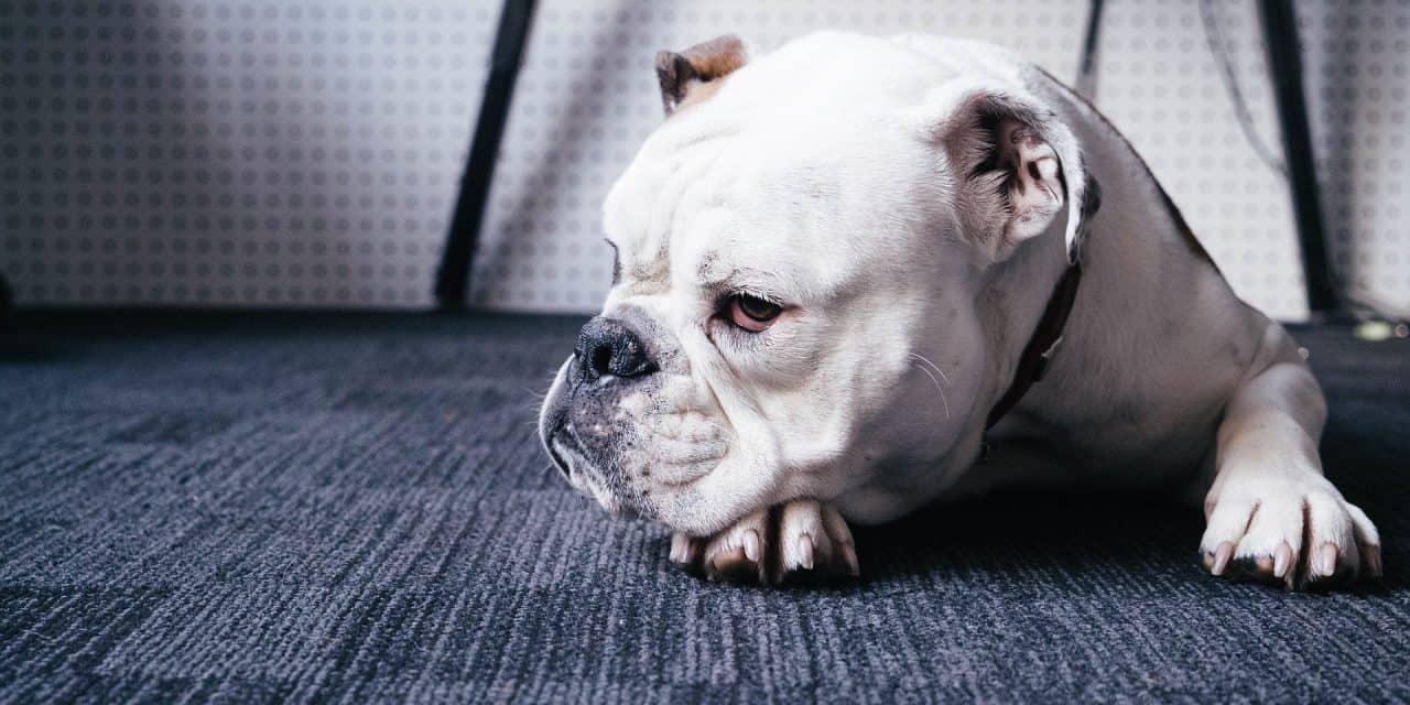 Can an English Bulldog Be a Service Animal?