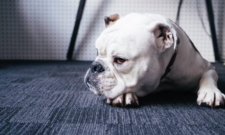 Can an English Bulldog Be a Service Animal?