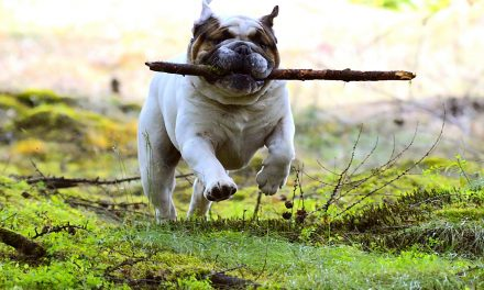 What's Better For an English Bulldog? A Harness or a Collar?