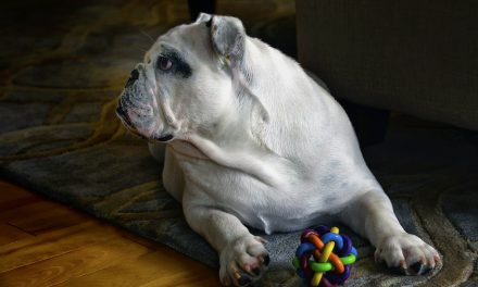 The Full Guide To Caring For An English Bulldog's Skin