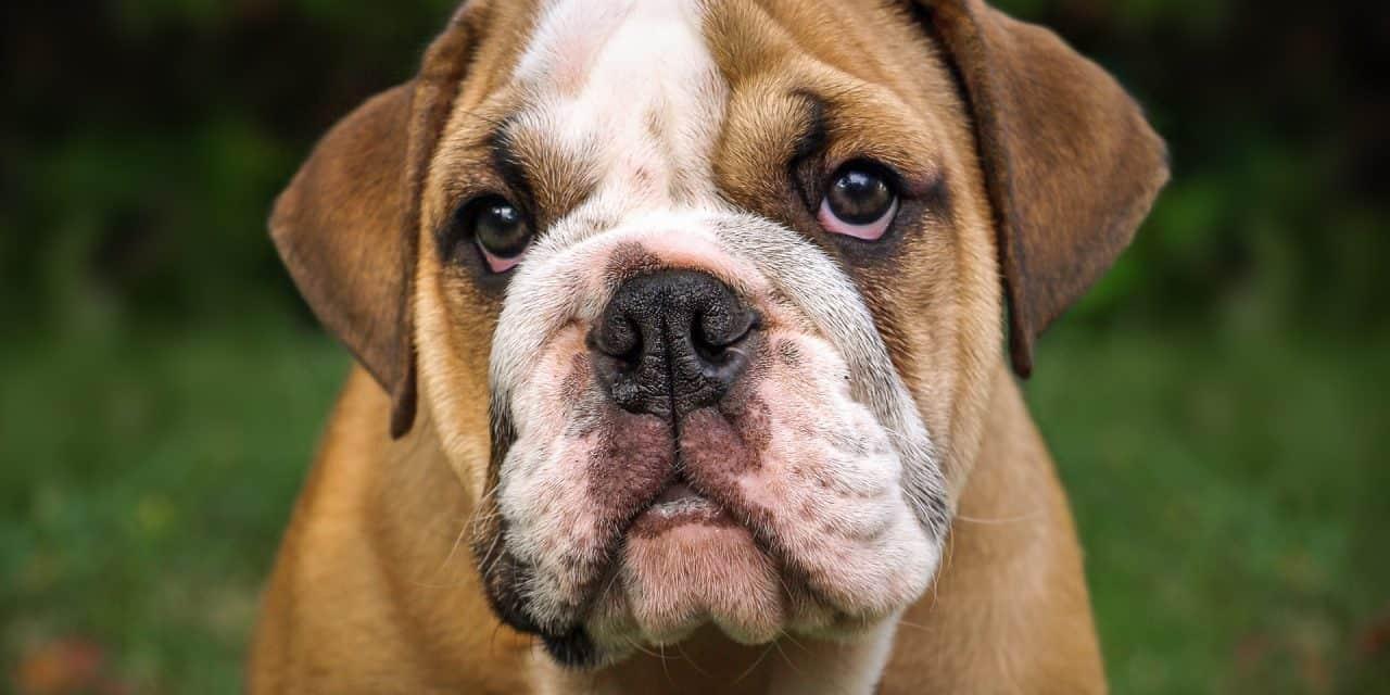 6 Reasons Your English Bulldog Has Bald Patches