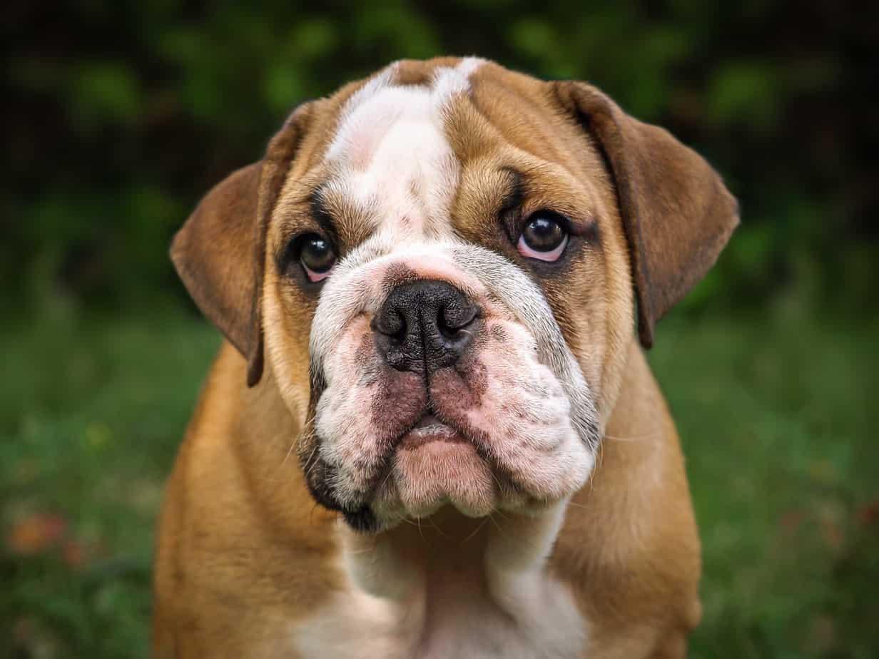Hotfix English Bulldog