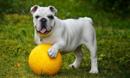 How to Clean an English Bulldog's Teeth